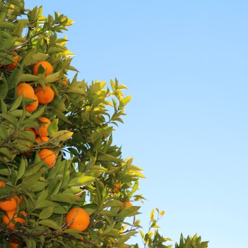 A leafy green orange tree loaded with small, perfect oranges in front of a clear, blue sky.